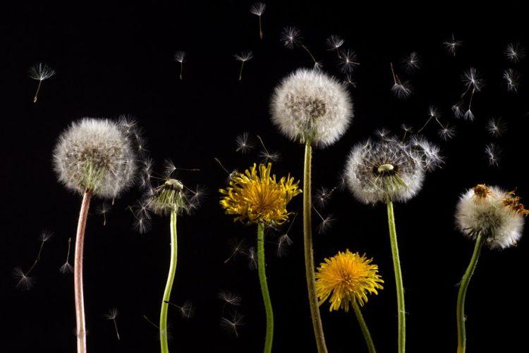 Pollenwarndienst warnt vor Pollenbelastung der Luft, blühender Löwenzahn vor schwarzem Hiintergrund