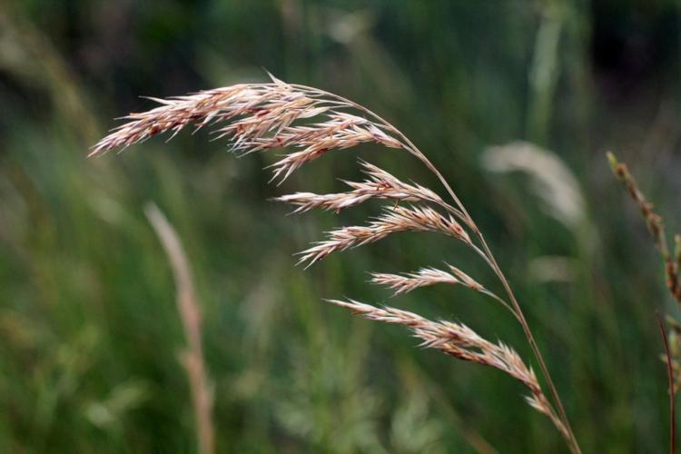 Blühende Gräser machen Allergikern das Leben schwer