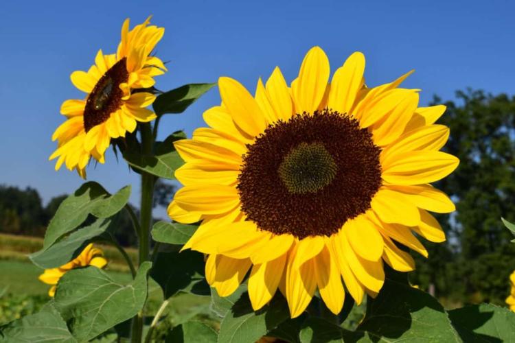 Sonnenblumen - Der Groß eines sonnenreichen Sommers