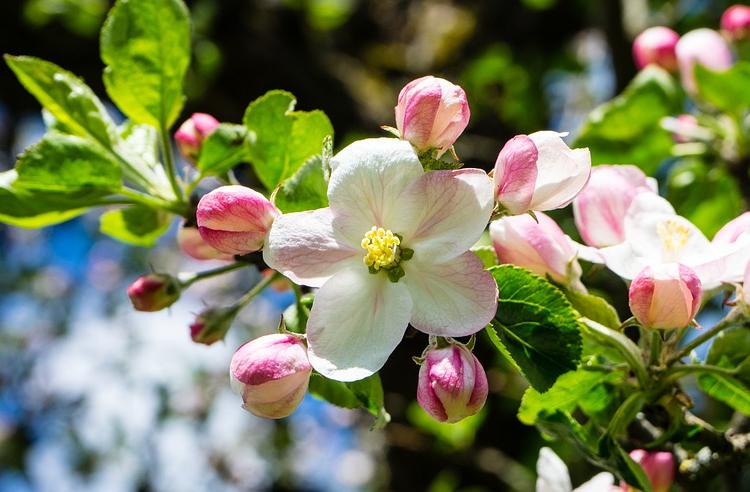 Die Apfelblüte - Eines der klassischen Frühlingsfotomotive.