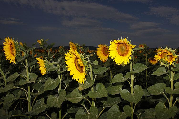 Wetterrückblick: Sonnenblumen-Feld im Sommer; Foto: wetter-wien.wien
